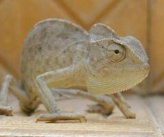 Chameleon-jpatokal