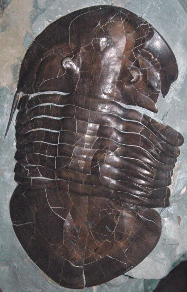 FileIsotelus maximus fossil trilobite with healed bite