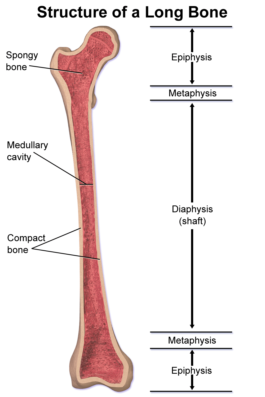 Medullary cavity - Wikipedia