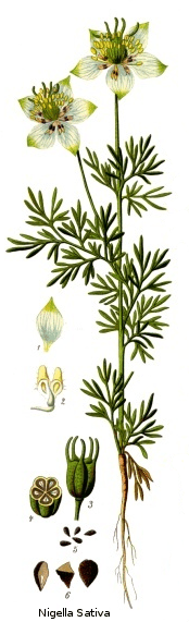 Nigella sativa from Koeh-227