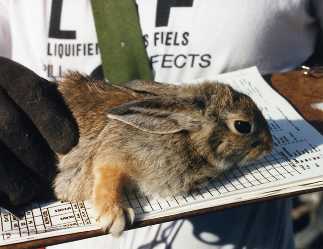 File:Mountain Cottontail at the Nevada Test Site.jpg