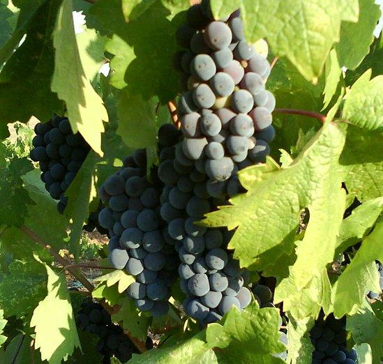 File:Zinfandel grapes.jpg