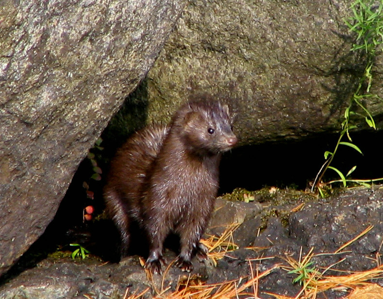 English: A mink on Lower Saranac Lake. Taken b...