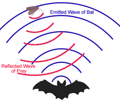Humans Can Use Echolocation Scientific Scribbles