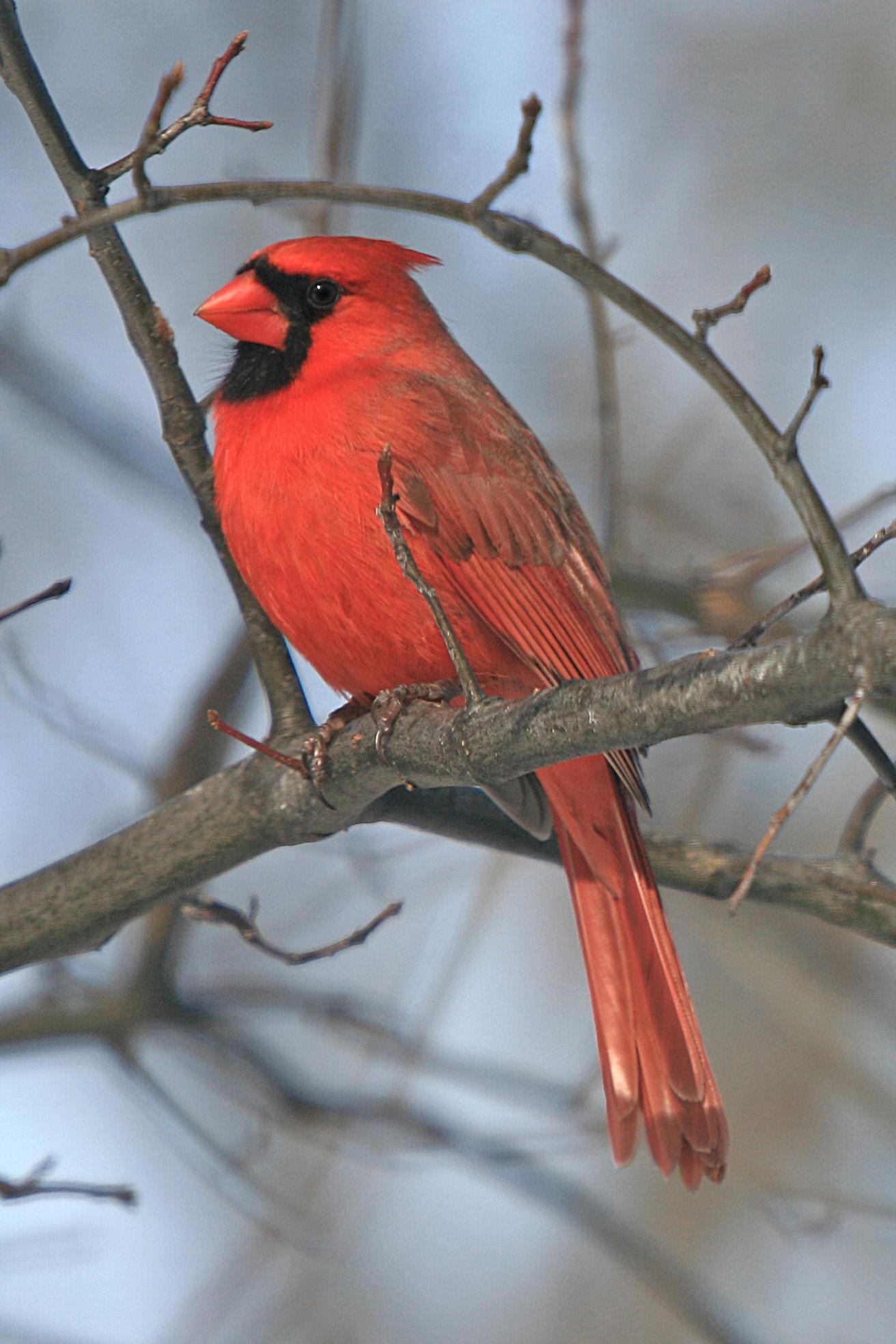 File Cardinalis Cardinalis Cleveland Ohio Usa Male 8