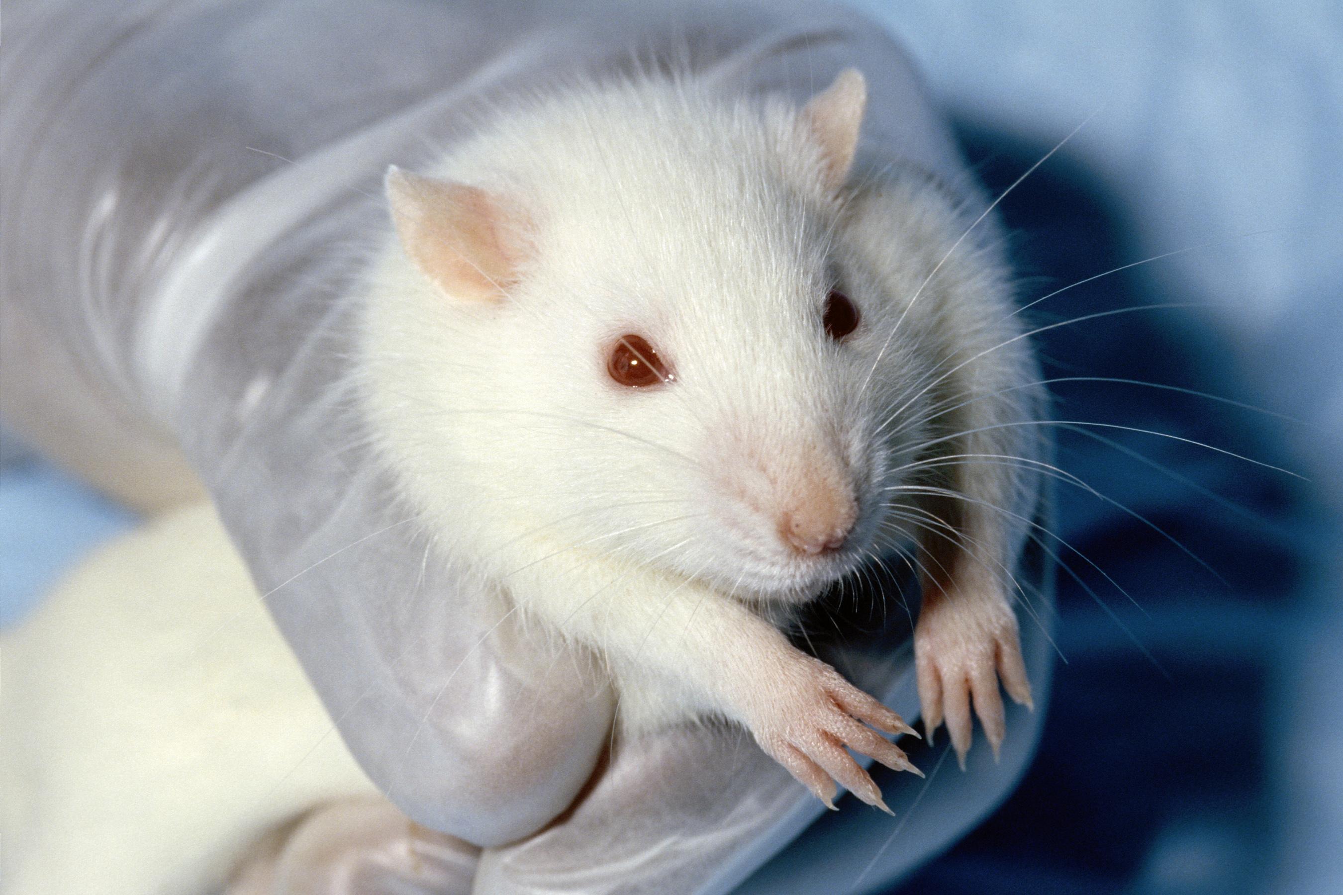 Denna råtta, som använts i ett djurförsök, har onekligen vissa fundamentala rättigheter. Men hur viktiga är dem? Var går de etiska gränserna i förhållande till vår förmåga att rädda människoliv?