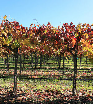 English: Napa valley vineyard Français : Vigno...