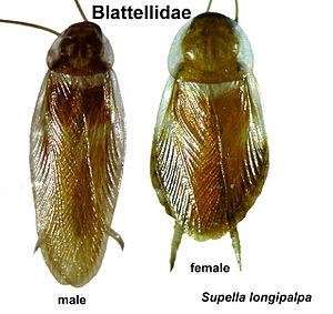 English: Brown Banded cockroach ไทย: แมลงสาบลา...