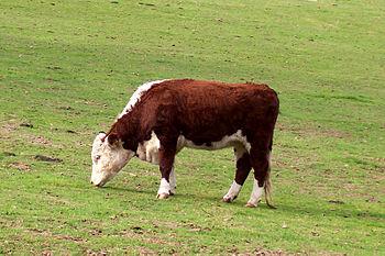Hereford Steer