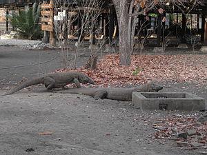 Naga Komodo di Taman Nasional Komodo