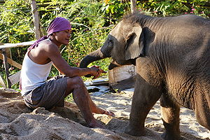 English: Mahout with a young elephant at Eleph...