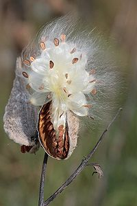 dreamed I was a milkweed plant -- I was free
