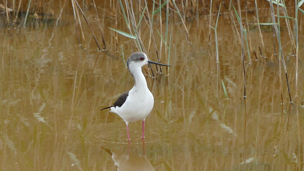 Black-winged stilt from Absheron National Park in Azerbaijan