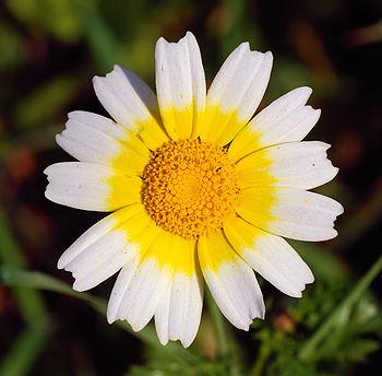 Crown Daisy (Chrysantemum coronarium)