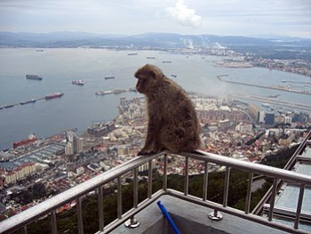 English: Gibraltar Barbary Macaques