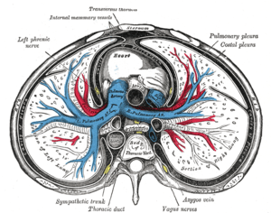 Transverse section of the thorax, showing the ...