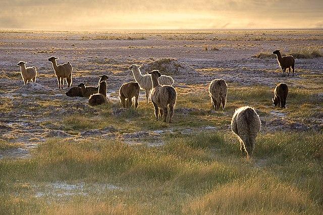 Llamas (Lama glama) in the sunset near San Pedro de Atacama at an altitude of approximately 2,400m (7,900 ft), Chile Norte Grande. Photo taken by Luca Galuzzi