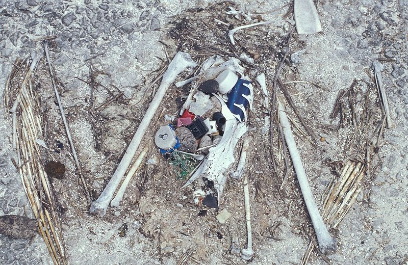Fichier:Laysan albatross chick remains.jpg
