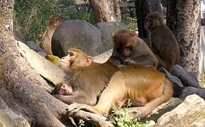 English: A group of Rhesus monkeys in Nepal.
