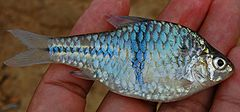 Ikan dokun, , dari Bayung Lencir, Musi Banyuasin, Sumatera Selatan