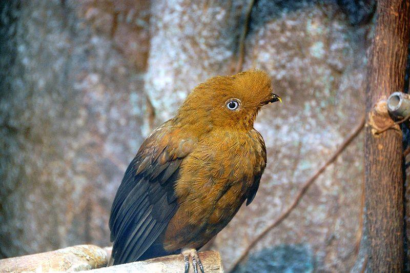 Archivo:Rupicola peruvianus (female) -Ueno Zoo-8a.jpg
