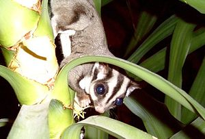 Sugar Glider, climbing down from a plant