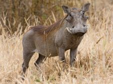 Image of Warthog from wikipedia