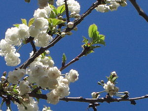 English: Blooming cherry tree Français : Ceris...