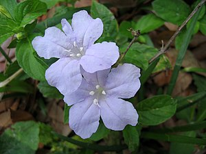 Photo of Blue Wild Petunia (Ruellia carolinien...