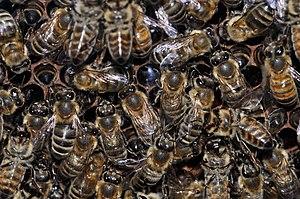 English: European honey bees (Apis mellifera) ...