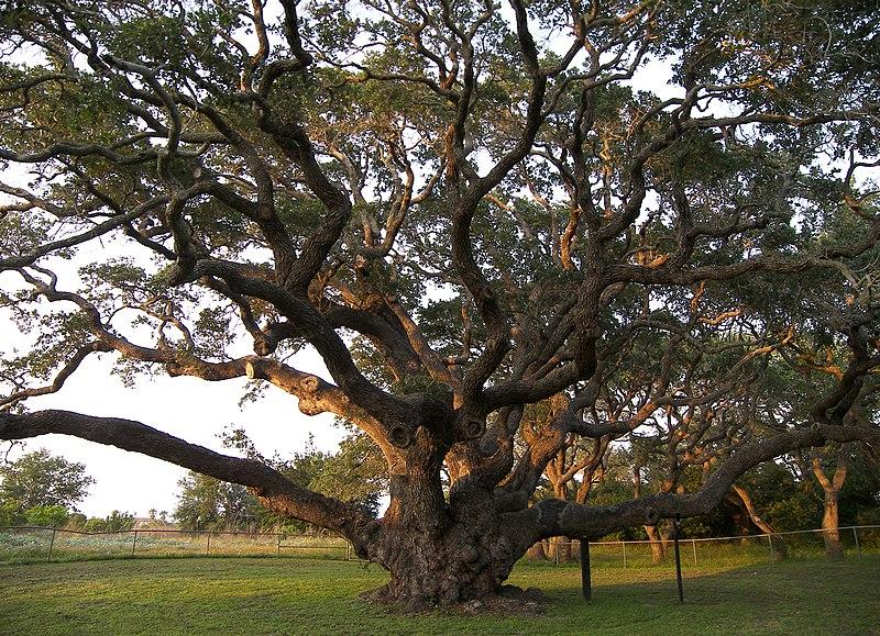 File:Big tree.jpg