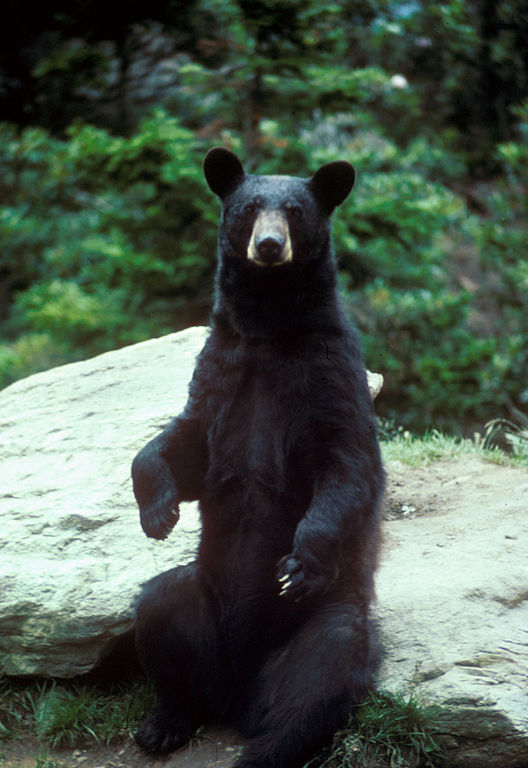 Ursus americanus by Mike Bender/U.S. Fish and Wildlife Service, 2008