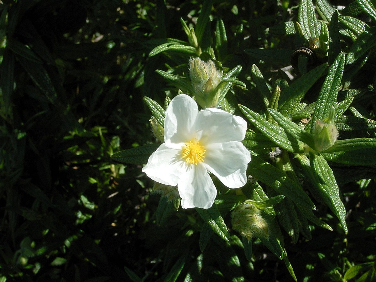 Cistus Monspeliensis Wikipedia