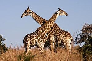 ♂♂ Giraffa camelopardalis giraffa English: Fig...