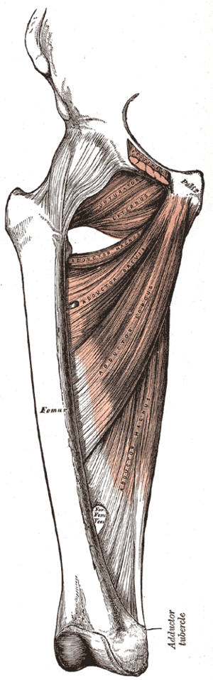 Deep muscles of the medial femoral region.