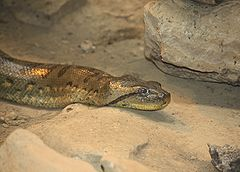 Green Anaconda 057.jpg