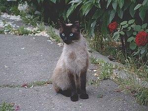Adult female Balinese cat (siamese longhair)