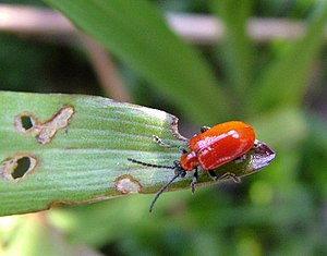 English: Lily Beetle, (Lilioceris lilii) A Sca...