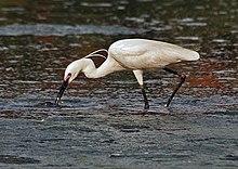 Little Egret (Egretta garzetta)- In Breeding plumage-actively catching prey in Kolkata I IMG 7990.jpg