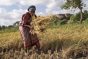A woman manually harvesting crops in Thirumaya...