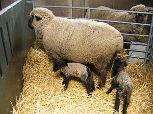 Mudchute City Farm sheep with lambs. It's eith...
