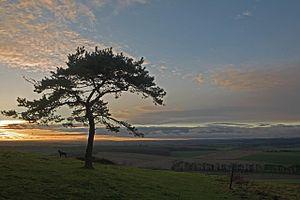 English: Pine tree on Pentridge Hill at sun-se...