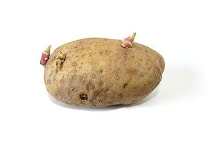 Potato with sprouts. Russet variety. About 10 ...