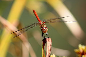 A male Sympetrum striolatum. This dragonfly ca...