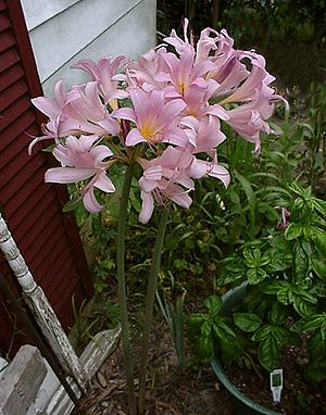 Two long-legged Naked Ladies (Lycoris squamigera)