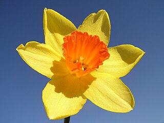A daffodil's trumpet