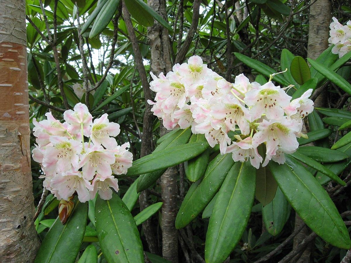 Rhododendron Brachycarpum Wikispecies