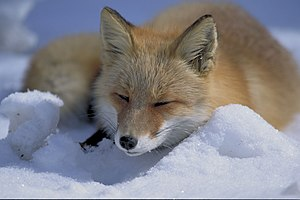 キタキツネ (北狐 kita kitsune), a Vulpes vulpes schre...
