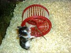 A hamster and a hamster wheel