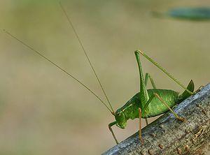 Bush-cricket 02 (MK)